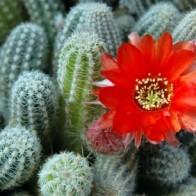 cactus flower pic